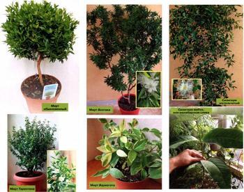 Мирт (миртовое дерево)