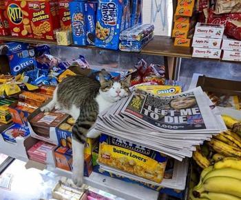 Магазинные кошки, отдыхающие на полках и витринах