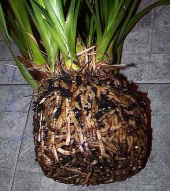 Пересадка орхидеи в домашних условиях — пошаговое руководство