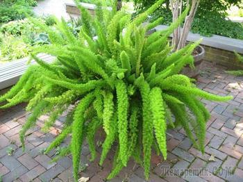 Уход за аспарагусом: как вырастить цветущее растение