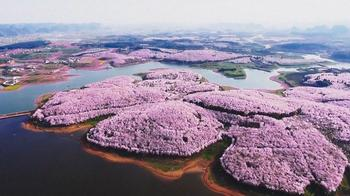 Цветение вишневых деревьев в Китае
