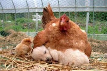 Фотографии, которые доказывают, что курочки — лучшие мамы среди животных