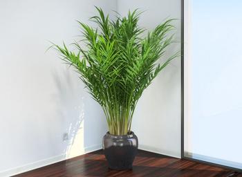 Арека – предствитель семейства Пальмовых