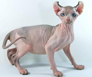 Эльф – редкая порода кошек