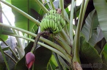 Банан: выращивание в домашних условиях
