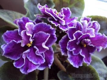 Что нужно для цветения фиалок круглый год