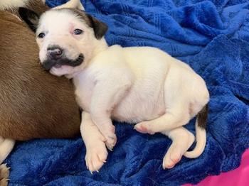 В далласском приюте для животных родился очаровательный щенок Сальвадор Долли с притягательными усами