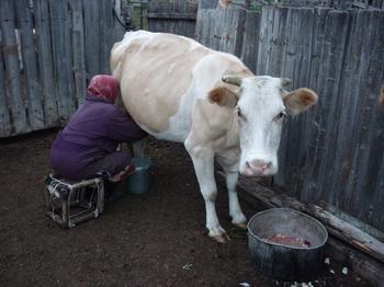 Доить корову во сне: толкование сновидений
