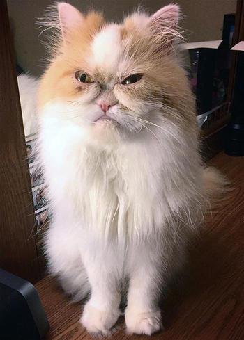 «Сердитый кот» умер и интернет нашёл нового. Его зовут Луи, и он ещё более брутален