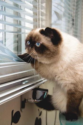 Любопытные коты, которые любят жалюзи