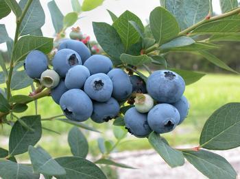 Садовая голубика – как вырастить вкусную и полезную ягоду