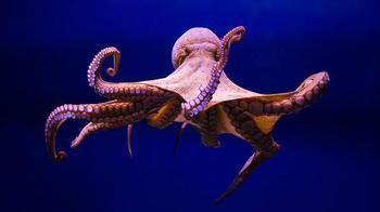Порция интересных фактов об осьминогах