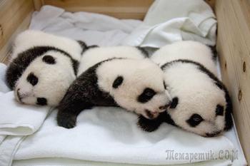 Потрясающие фото детенышей панды, которые поднимут вам настроение