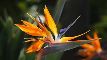 Стрелиция (Райская птица): описание, фото, уход и выращивание из семян