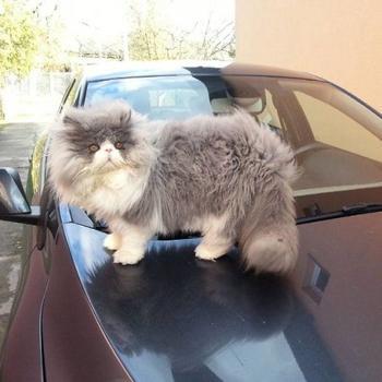 Цезарь — кот, который имеет очень длинную шерсть