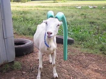 Козам, которые плохо себя ведут, на рога надевают аквапалки?