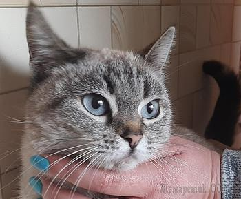 Красивая кошечка с небесными глазами очень хочет стать домашней