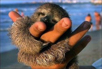 Пачка занимательных фактов о ленивцах