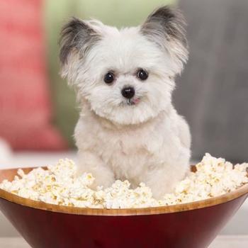 Этот крошечный терапевтический пёсик Норберт имеет огромную армию поклонников в Instagram