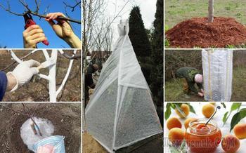 Подготовка абрикоса к зиме – правильный осенний уход за южным деревом