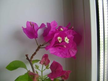 Выращивание Бугенвилии в домашних условиях: размножение и уход за растением