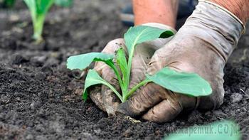 Почему вытягивается капуста на грядке и что делать