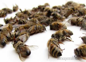 Применение пчелиного подмора: полезные свойства и противопоказания