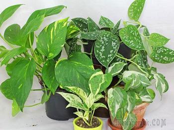 Виды и сорта сциндапсуса для выращивания дома