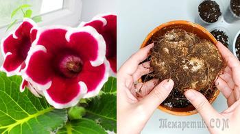Глоксиния после цветения. Что делать, чтобы снова зацвела
