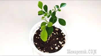 Мурайя уход за сеянцем. Пересадка и рекомендации по выращиванию