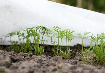 Подзимний посев моркови и свеклы: агротехника, сорта