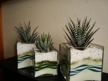 Хавортия: всё об уходе, посадке и размножении растения в домашних условиях