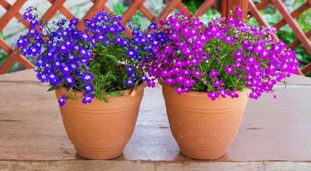 Как вырастить лобелию из семян в домашних условиях
