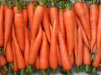 Сорта моркови для получения урожая с ранней весны до поздней осени