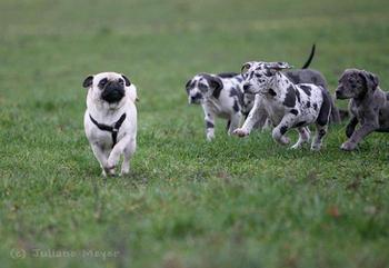 Как играются собаки