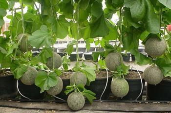 Особенности выращивания дыни в теплице: подготовка, высадка и подкормка