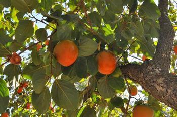Где и как растет хурма: особенности культуры и ее выращивания