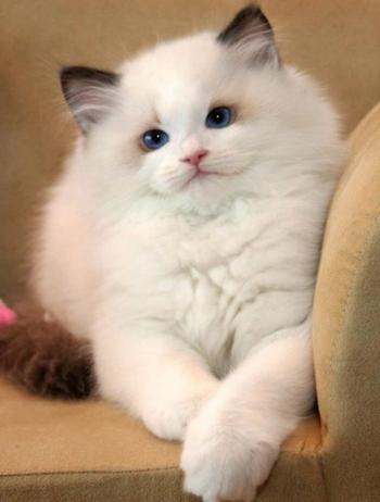 Самые пушистые в мире кошки. Они восхитительны