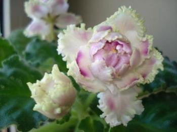 Описание селекционной фиалки PC-Ледяная роза
