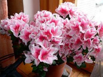 Цветок азалия: как ухаживать в домашних условиях?