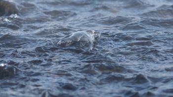 Зима.Оляпка ныряет в речку за рыбкой