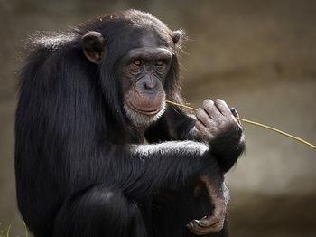 Ученые нашли сходство между сердцем бездельников и обезьяньим