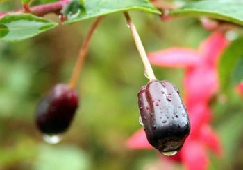 Фуксия в саду: лучшие сорта и секреты выращивания в открытом грунте