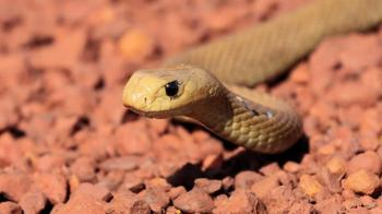 Самые опасные змеи-убийцы планеты