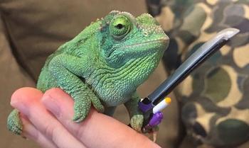 Женщина узнала, что её хамелеон держит в лапах всё, что ему дашь, и вот его смешные фото