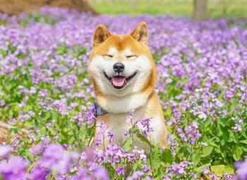 Очаровательный сиба-ину Хати, обожающий резвиться на красочных цветочных полях Японии