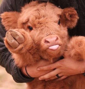 25 очаровательных телят, которые заставят улыбнуться даже тех, кому сейчас грустно
