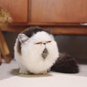Зуу — кот, который выглядит так, словно проснулся от будильника ранним утром понедельника