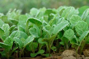 Когда сажать капусту рассадой: оптимальные сроки и советы по уходу за растением