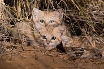 «Мы увидели три пары светящихся глаз»: ученым впервые удалось заснять котят барханного кота